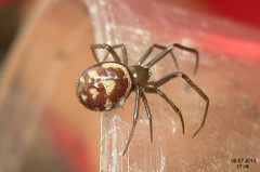 brown widow spider photo